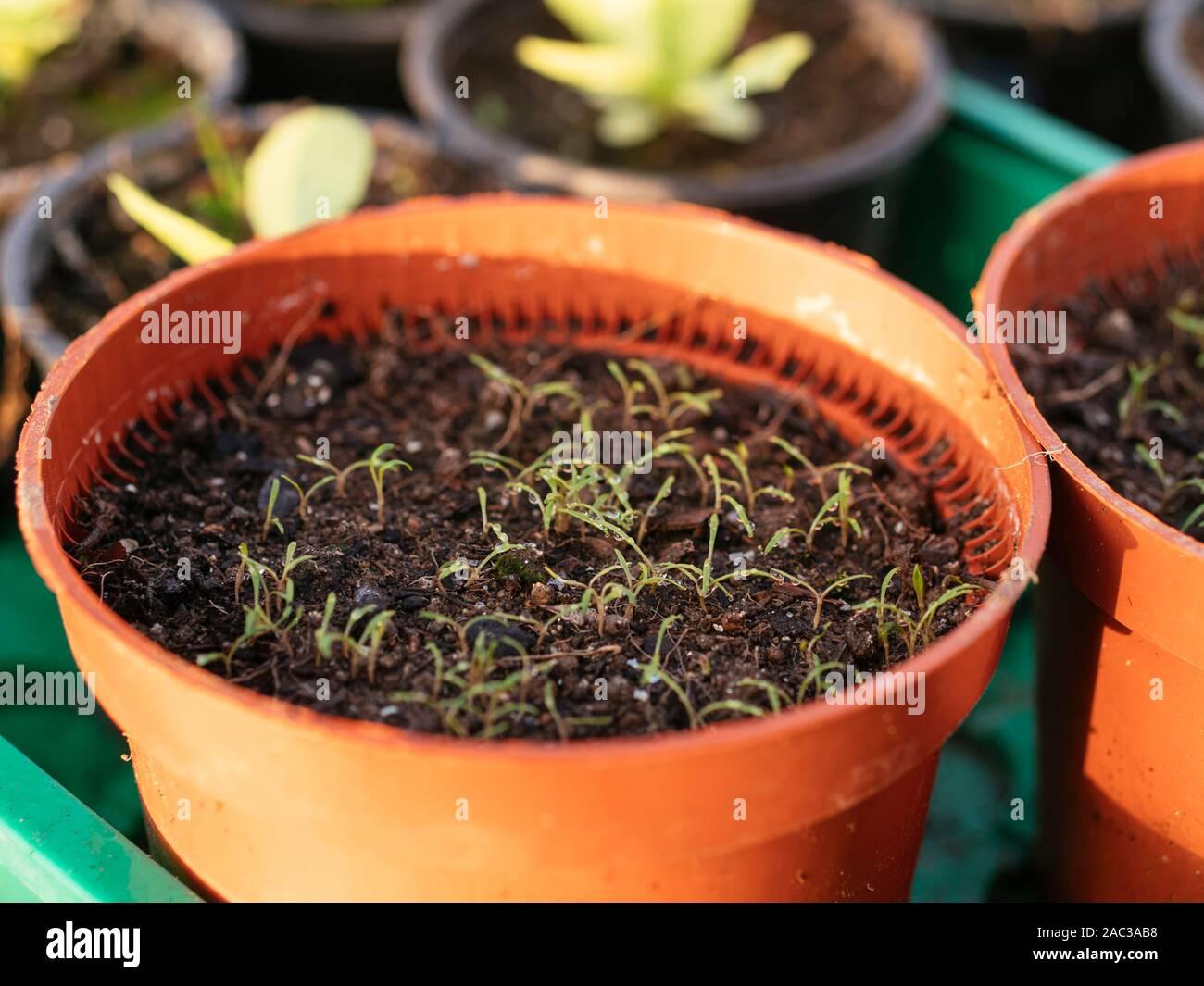 Winter purslane seedlings in a pot. Stock Photo