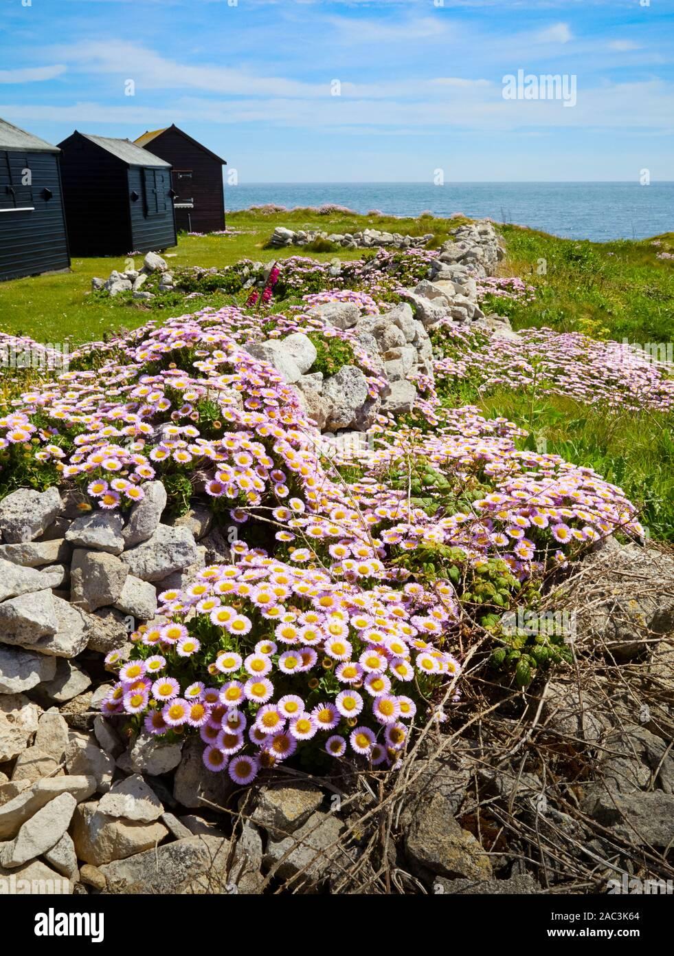 Beach Aster Seaside Daisy or Fleabane - Erigeron glaucus growing amongst quarried portland stone walling blocks on Portland Bill in Dorset UK Stock Photo