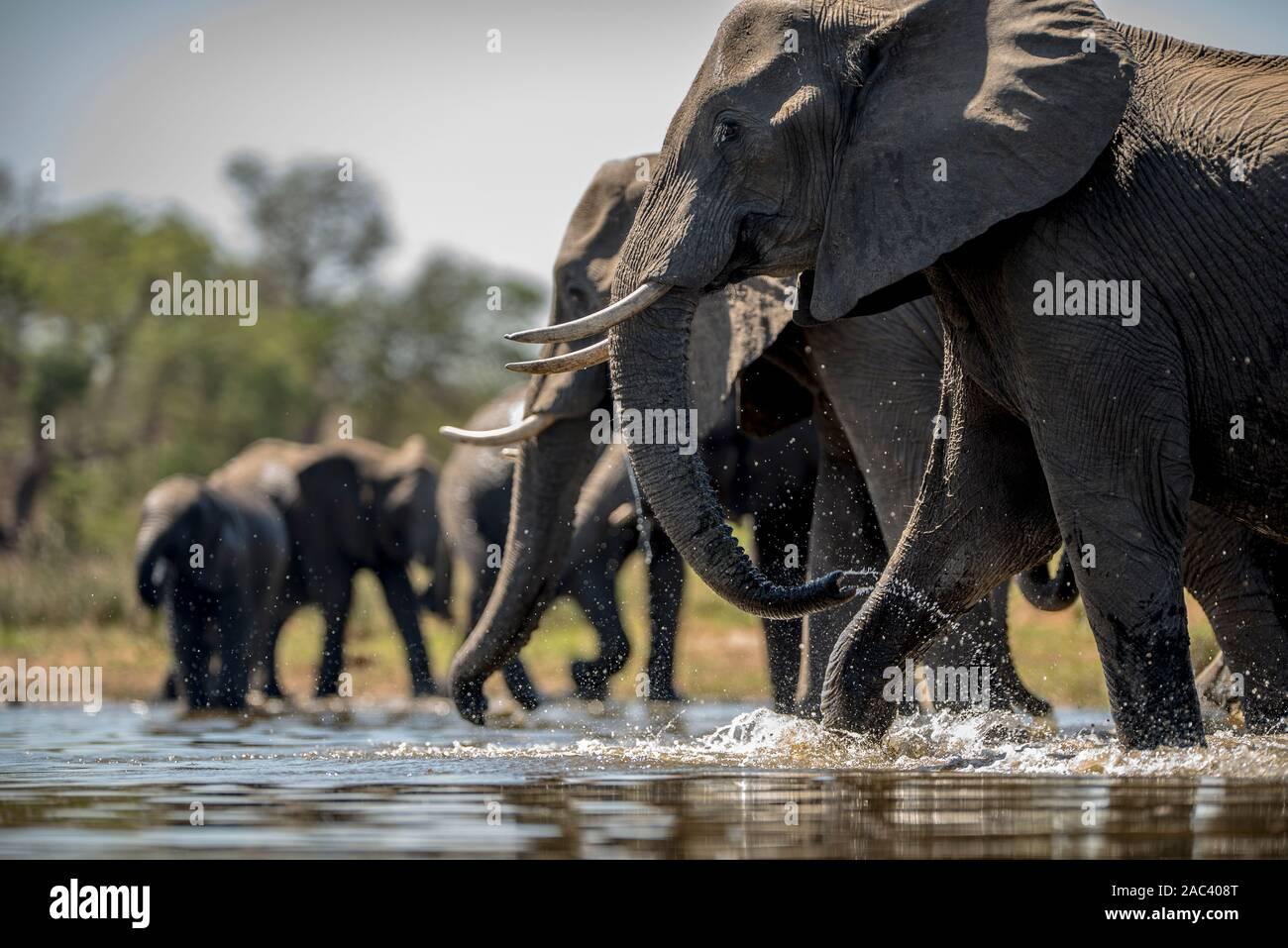 Elephant herd gather elephants African elephant Stock Photo