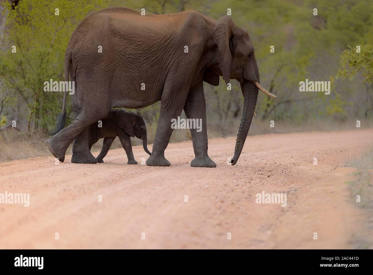 Elephant portrait African elephant Stock Photo
