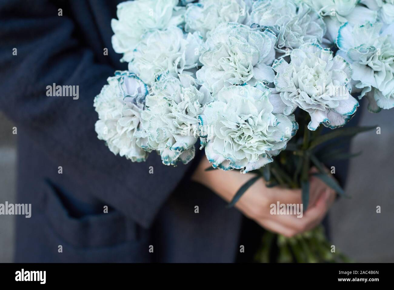 Blue Carnations High Resolution Stock Photography And Images Alamy