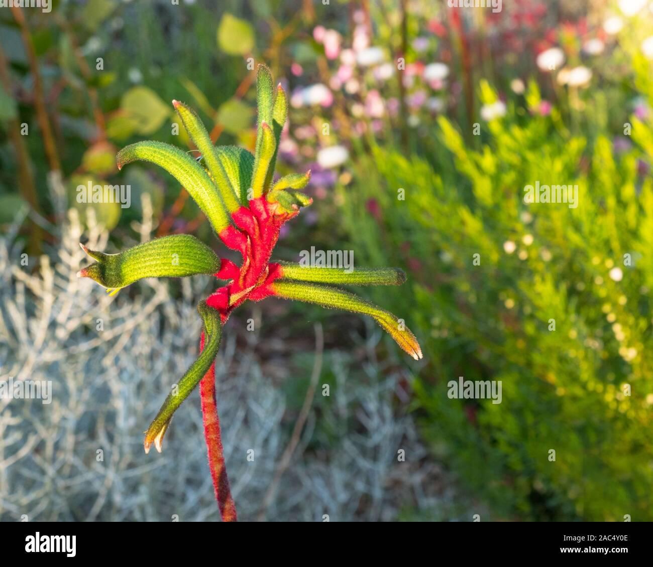 A Kangaroo Paw Flower Growing In Kings Park In Perth Western Australia Stock Photo Alamy