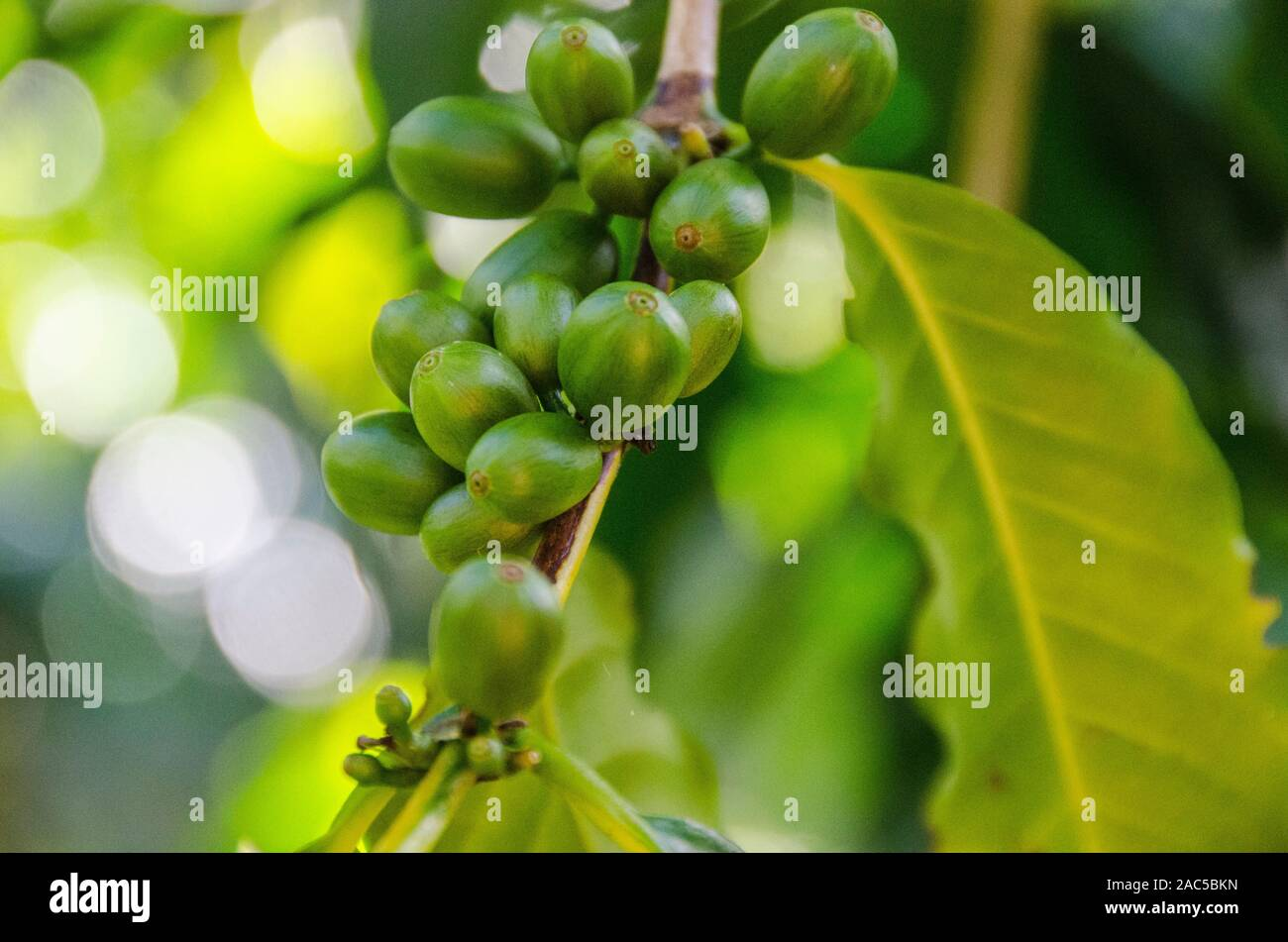 Close-up of green coffee cherries on tree at Kaleo's Koffee orchard in Pa'auilo Mauka on the Big Island. Stock Photo