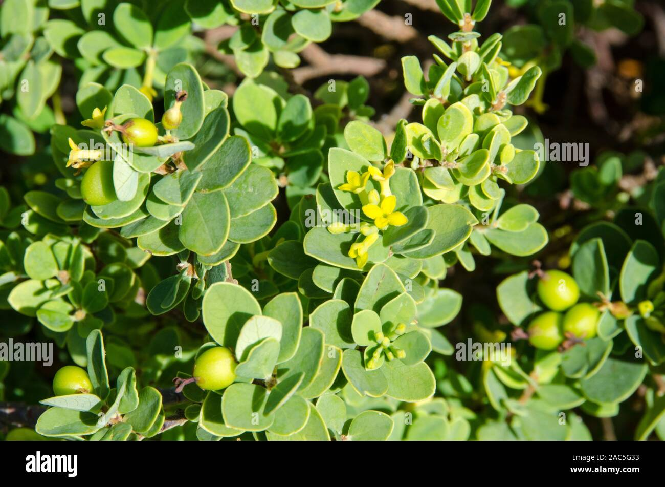 The native Hawaiian 'akia plant is either male or female. Female plants, after flowering, produce attractive round fruits that are yellow, orange or r Stock Photo
