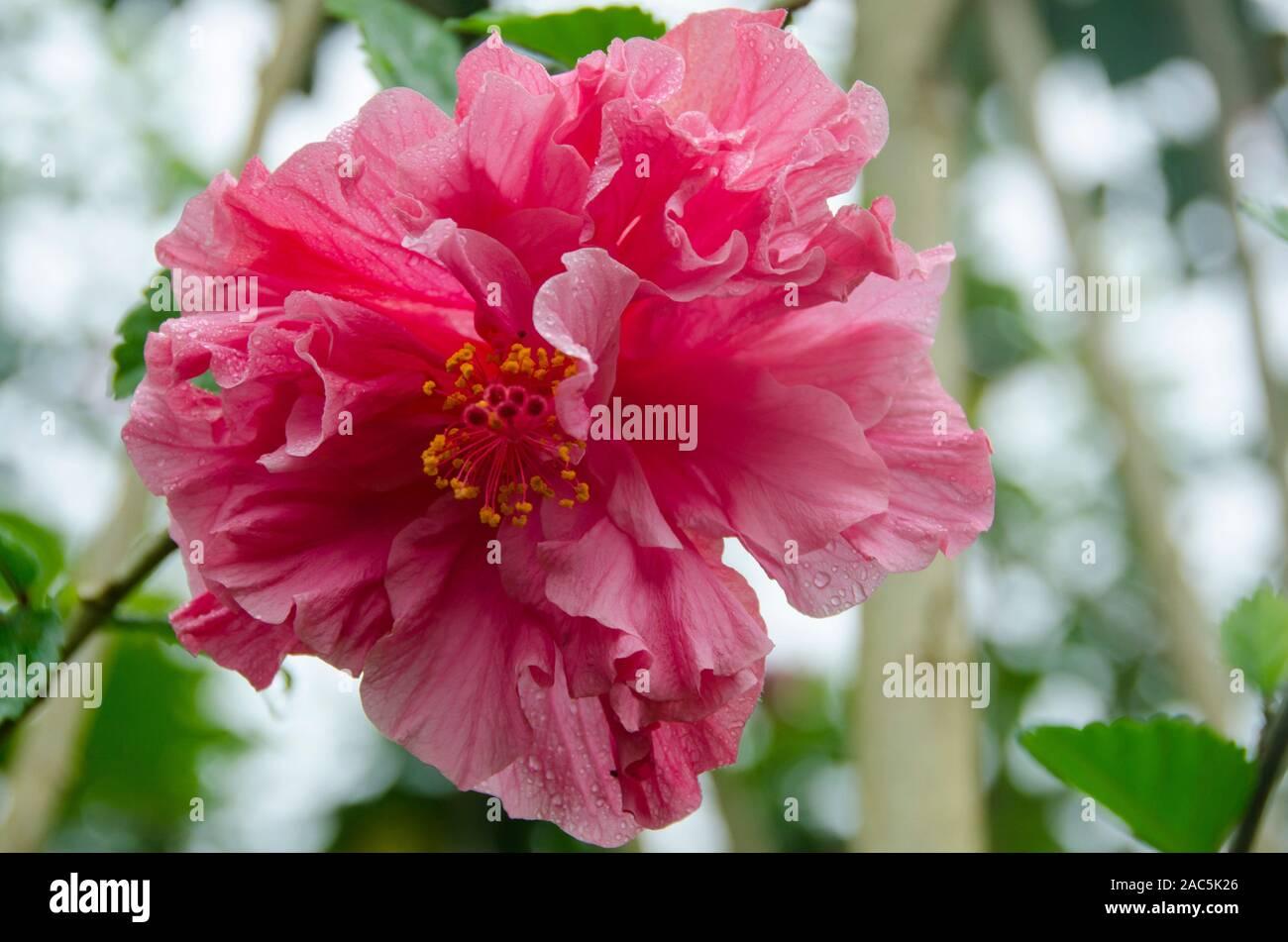 Pink double hibiscus, Big Island Stock Photo