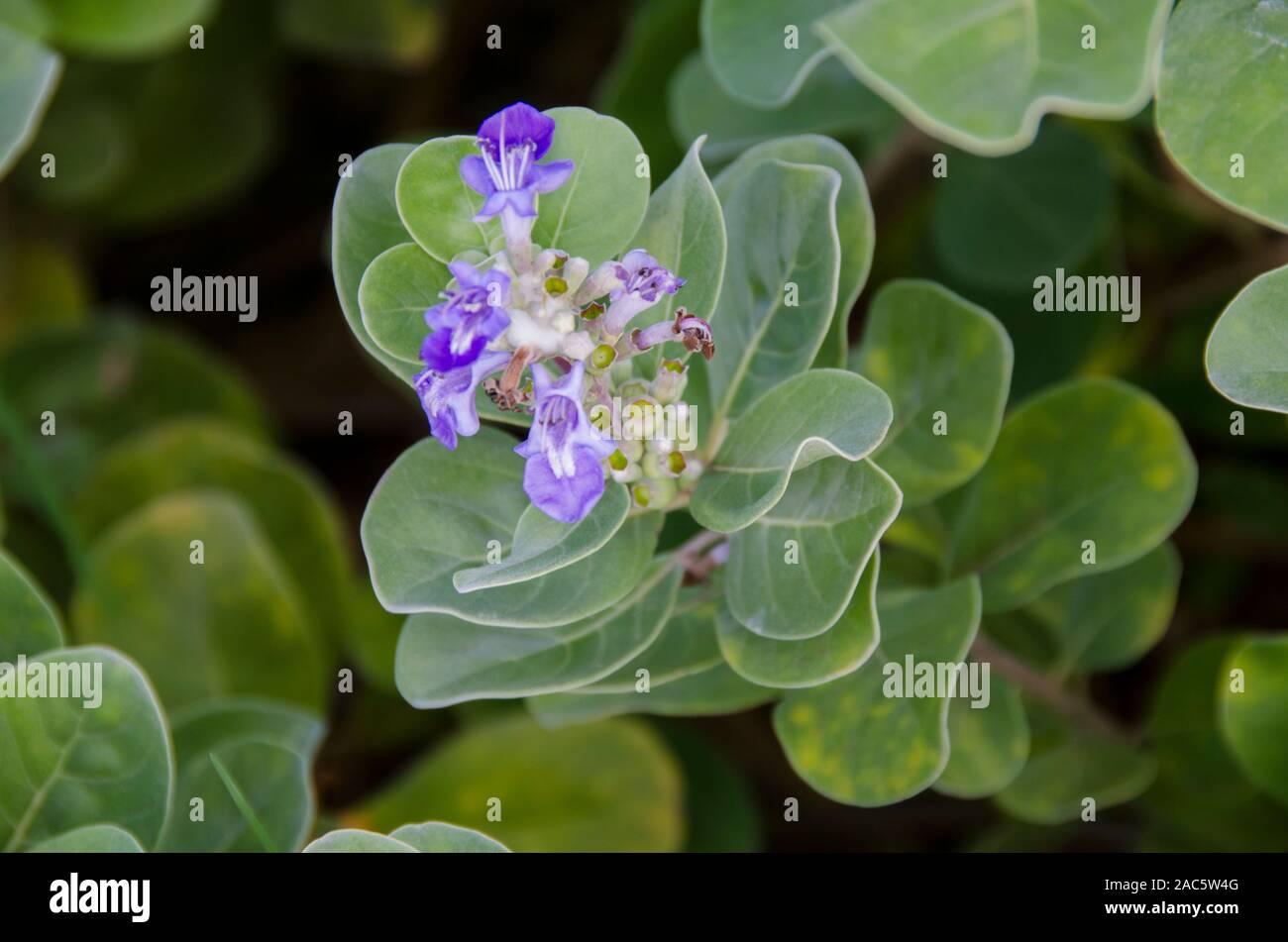 The native Hawaiian plant Pohinahina has bell-shaped flowers with blue violet petals. Stock Photo