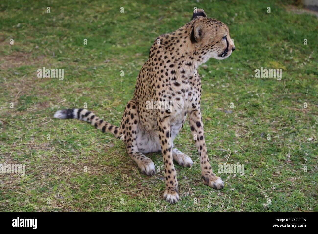 Cheetah in the rehabilitation center in Namibia Stock Photo
