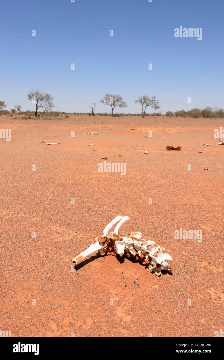 Remains of cattle that perished in a drought in the Australian Outback, Milparinka, New South Wales, NSW, Australia Stock Photo
