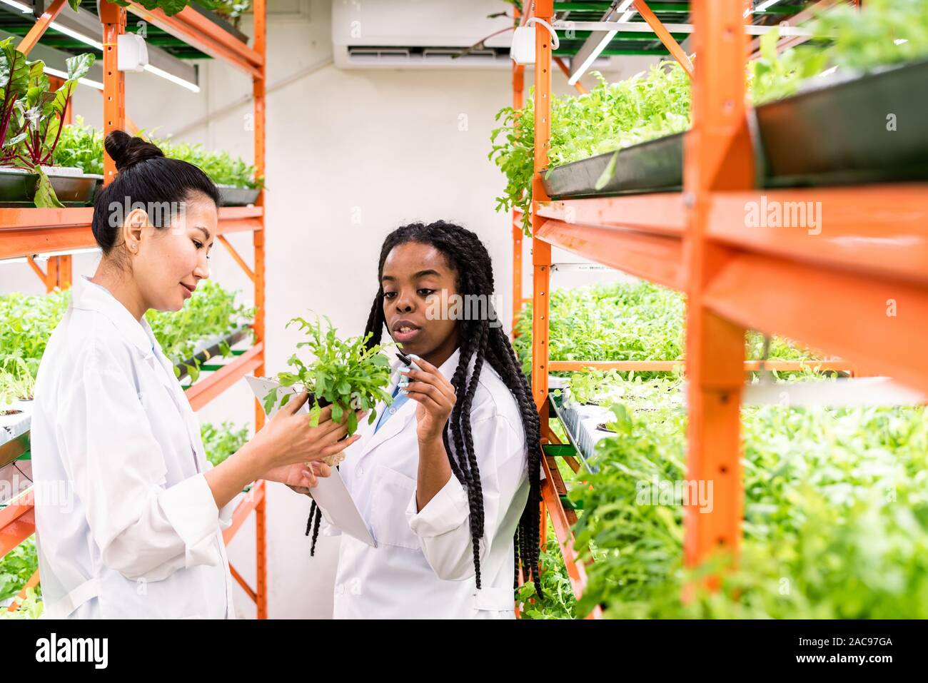 Young African agronomist pointing at green seedlings held by her Asian colleague Stock Photo
