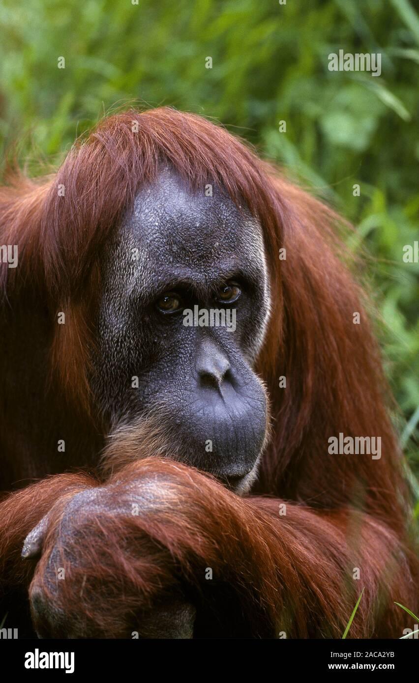 Sumatran Orang-utan / Sumatra-Orang-Utan , sumatra, indonesien, indonesia Stock Photo