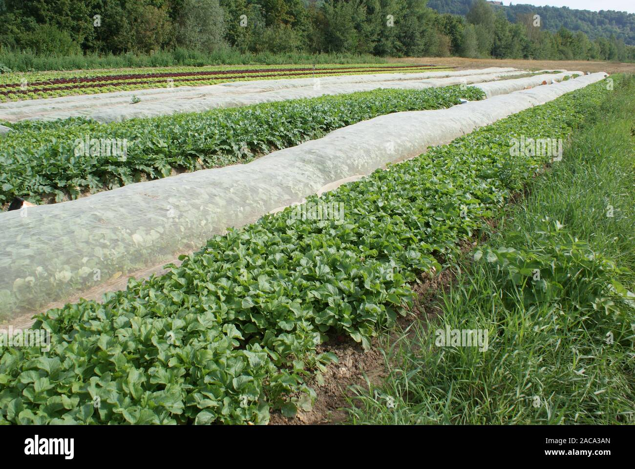 Raphanus sativus, radish, radish Stock Photo