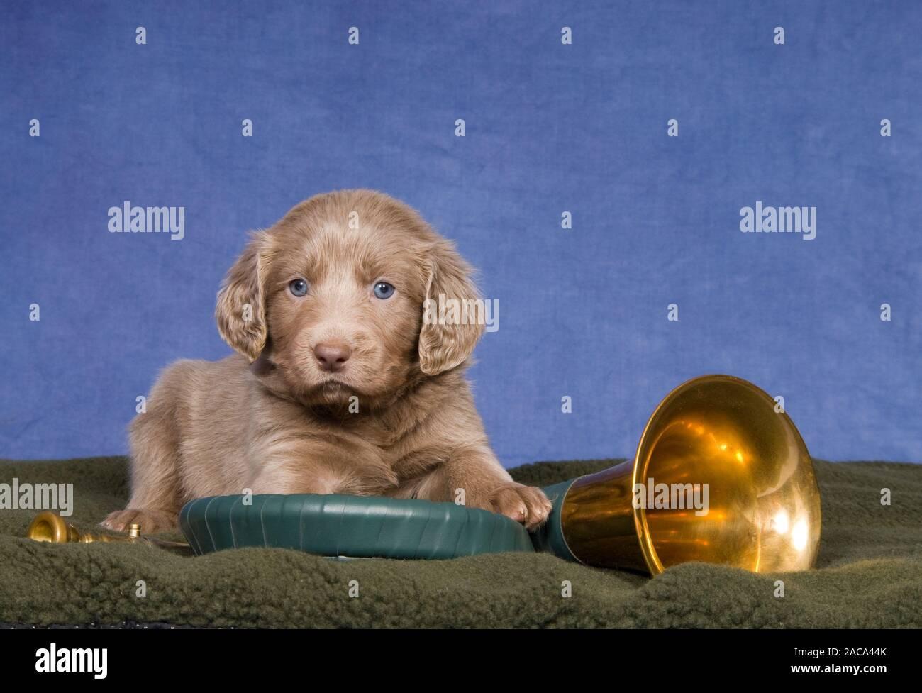 Weimaraner longhaired puppy Stock Photo