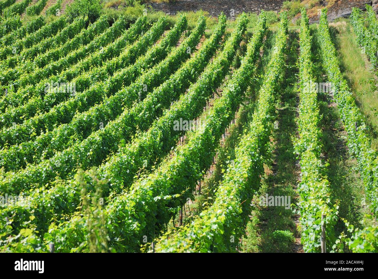 View of Weinberg, Romantic Rhine Valley, UNESCO World Heritage Upper Middle Rhine Valley, Rhineland-Palatinate, Germany, Europe Stock Photo