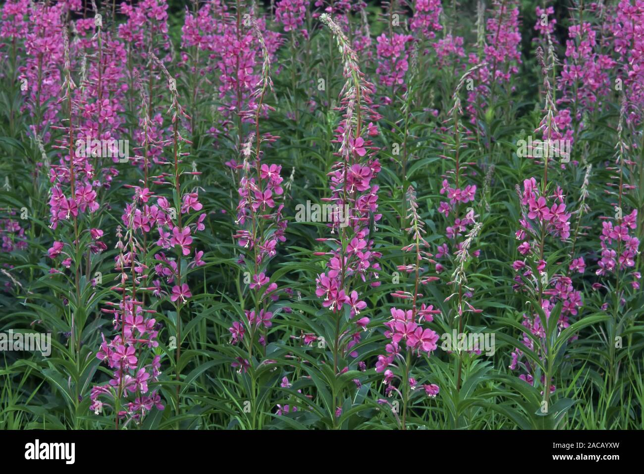 Perennial fireweed (Epilobium angustifolium) Stock Photo
