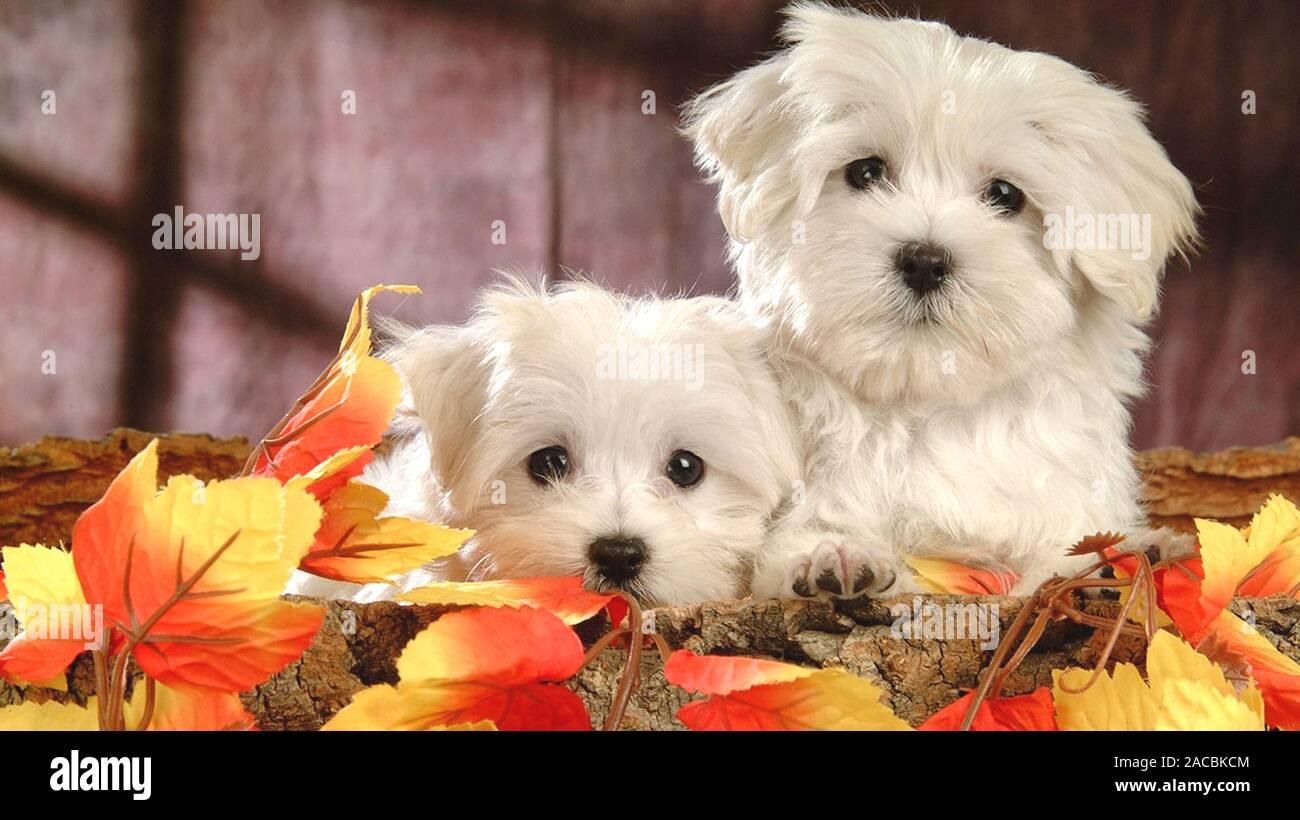 White Cute Puppy In Hd Wallpaper Stock Photo Alamy