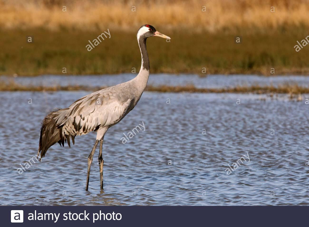 Common crane, Grus grus, birds Stock Photo