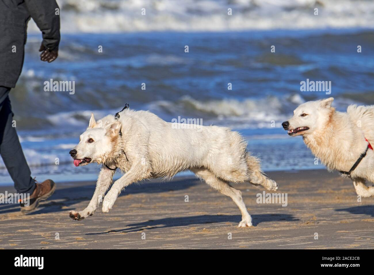 Two unleashed Berger Blanc Suisse dogs / White Swiss Shepherds, white form of German Shepherd dog running past walker on the beach Stock Photo