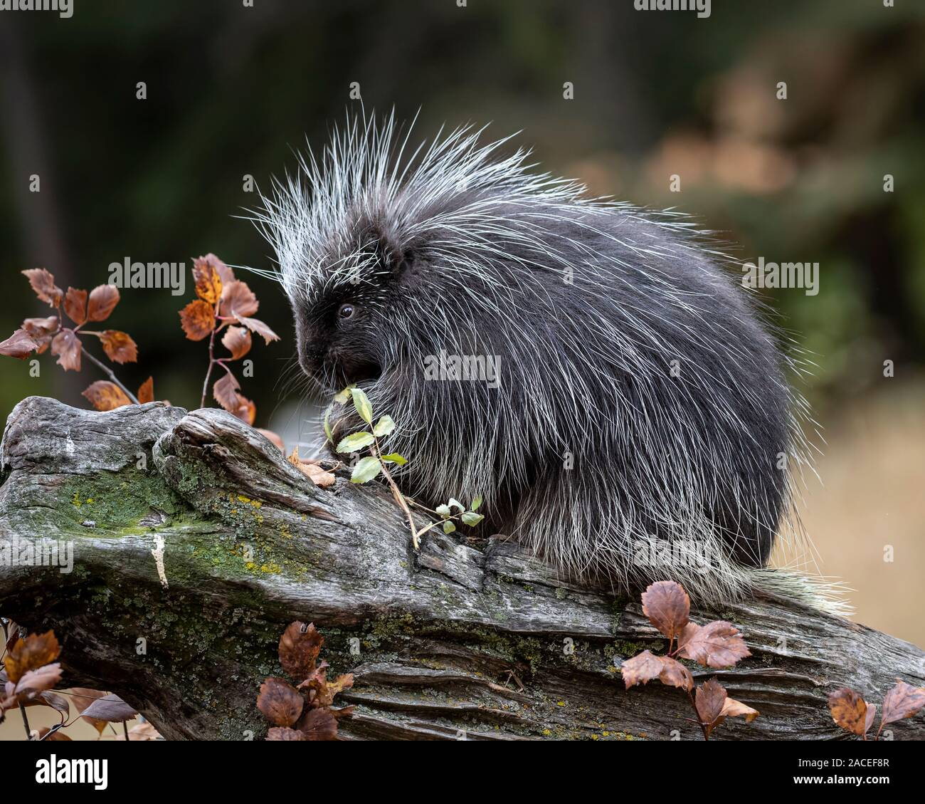 Porcupine playing and posing in Autumn leaves Stock Photo
