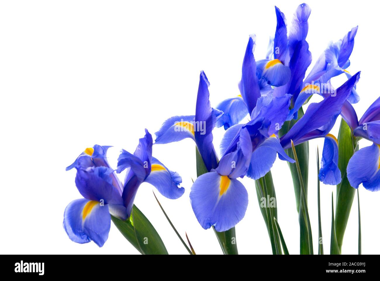Fresh cut blue flag iris flowers form a border on an isolated white background. Stock Photo