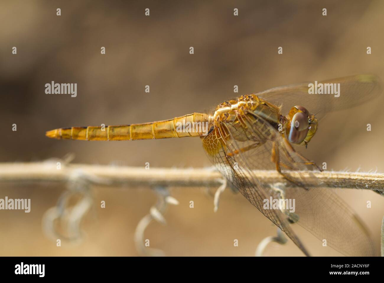 scarlet darter (Crocothemis erythraea) dragonfly Stock Photo