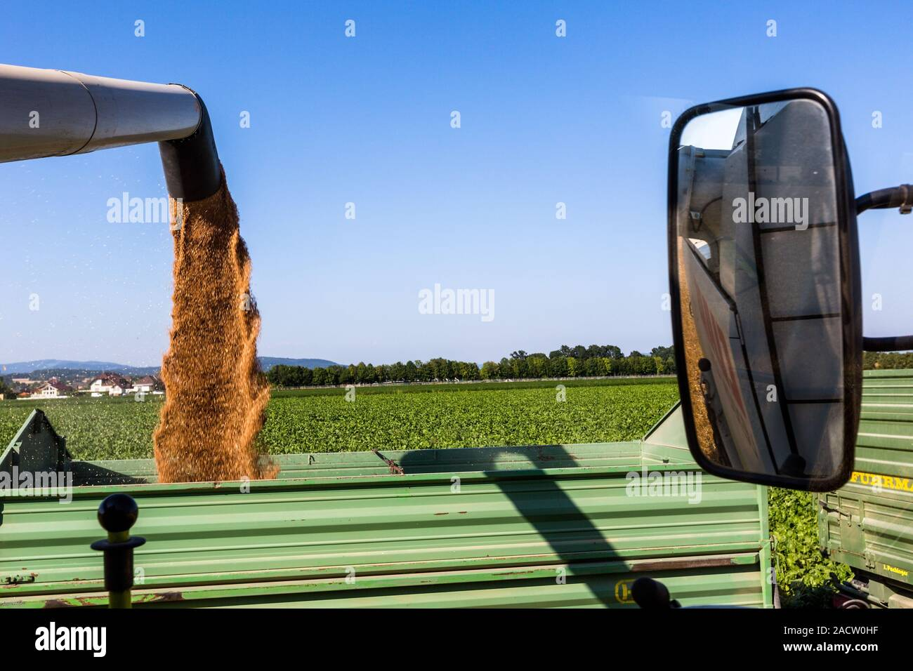 Grain field with wheat during harvesting Stock Photo