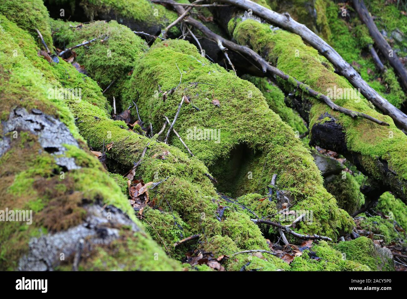 Forest soil with dead wood and moss, sustainability Stock Photo