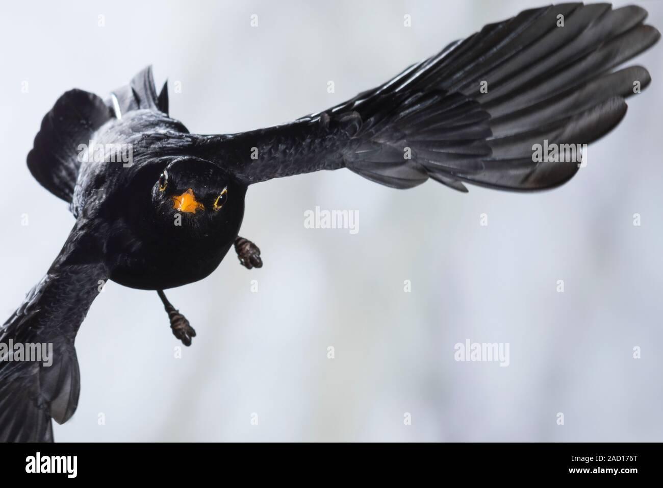 Amsel, Schwarzdrossel, Männchen, Flug, Flugbild, fliegend, Turdus merula, Blackbird, male, flight, flying, Merle noir Stock Photo
