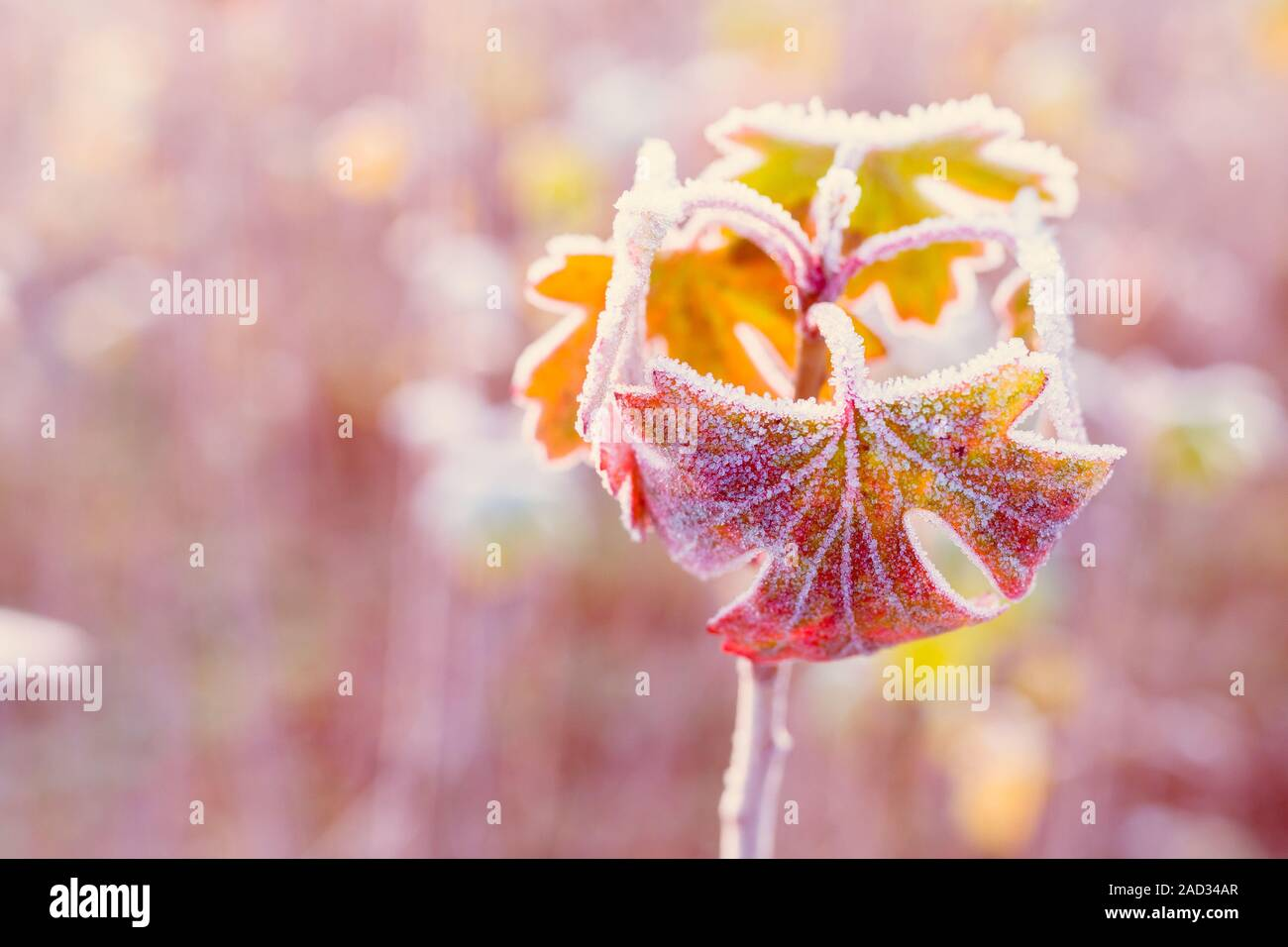 Frozen autumn leaves - shallow depth of field - abstract vibrant background Stock Photo