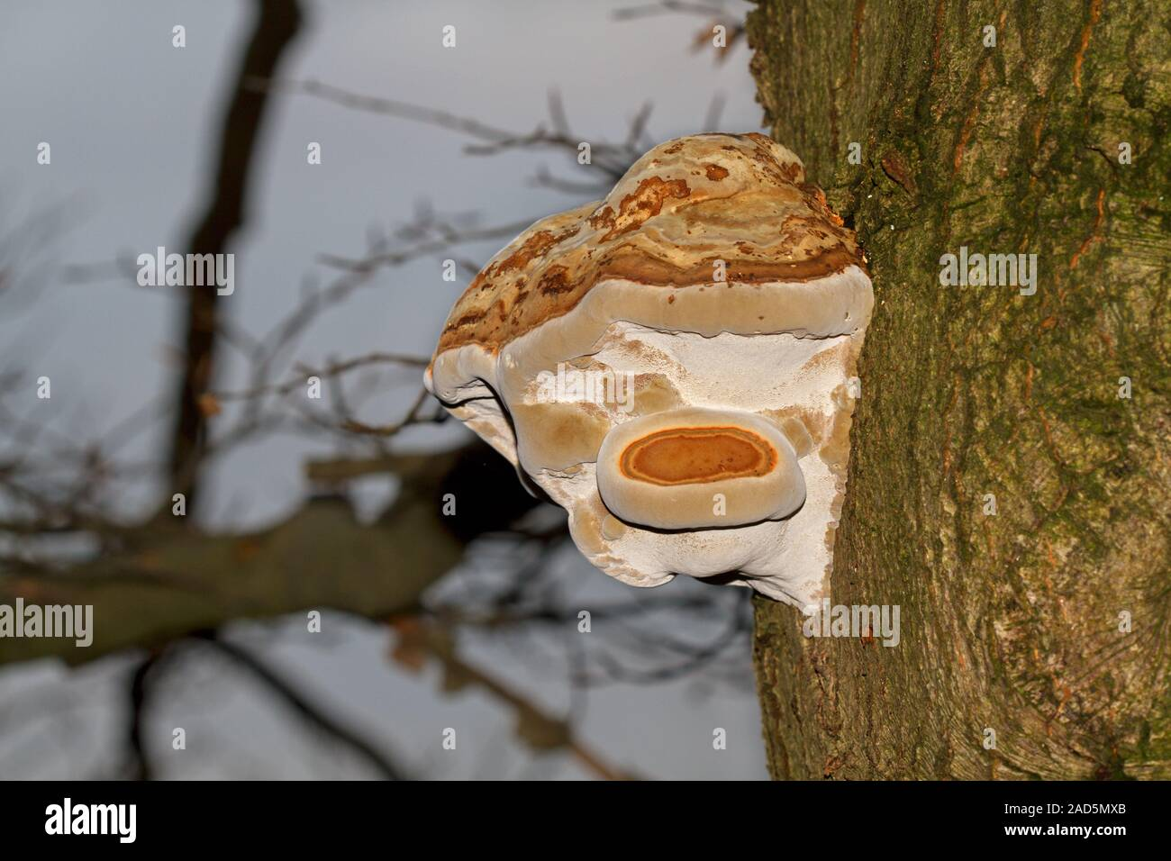 A woody Beeswax bracket fungus, also called conk, on the bark of a dying Oak tree Stock Photo