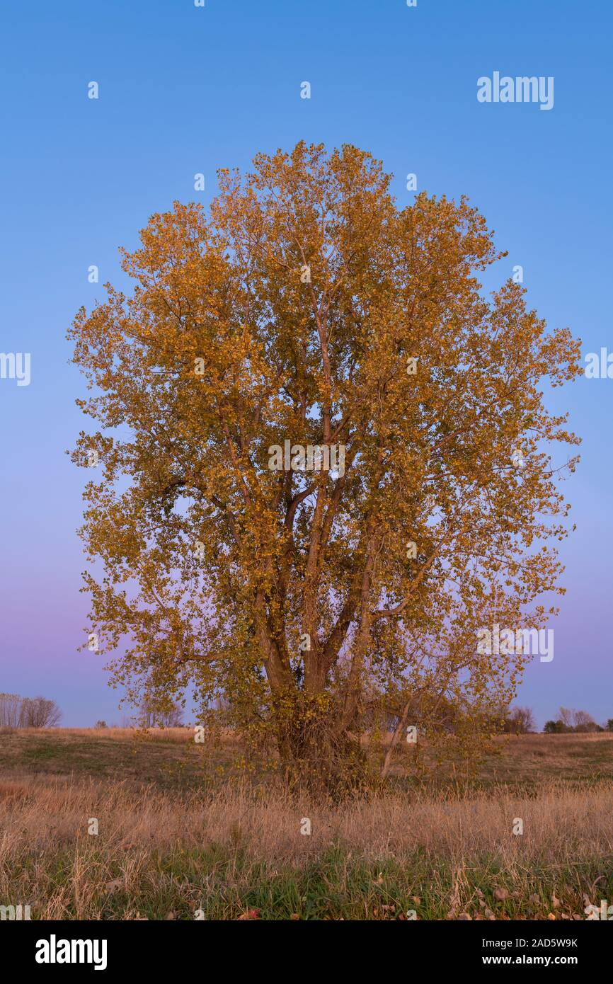 Eastern Cottonwood Tree Populus Deltoides Autumn Minnesota Usa By Dominique Braud Dembinsky Photo Assoc Stock Photo Alamy