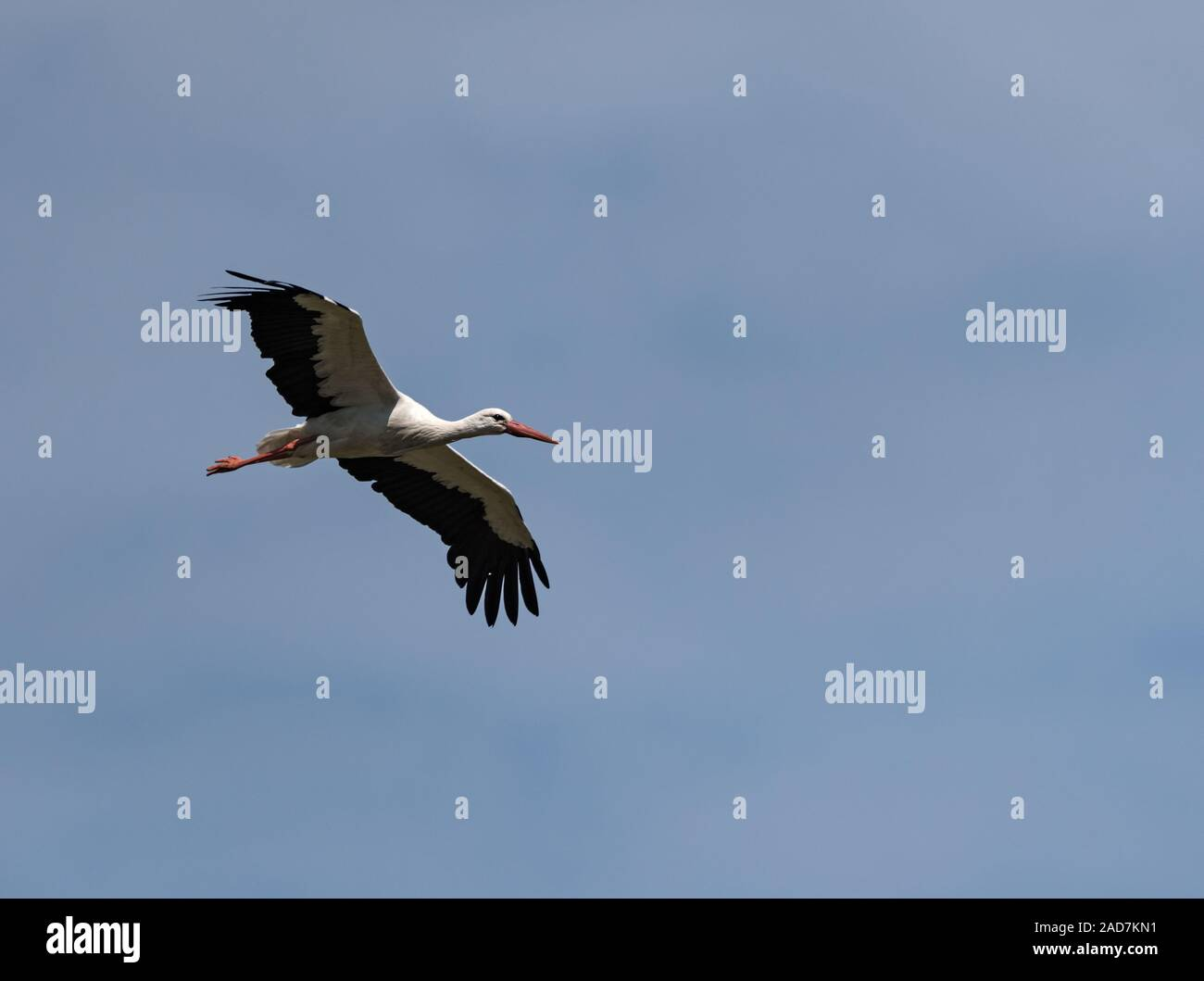 a white stork Ciconia ciconia flying above the nature reserve Kuehkopf, Hesse, Germany Stock Photo