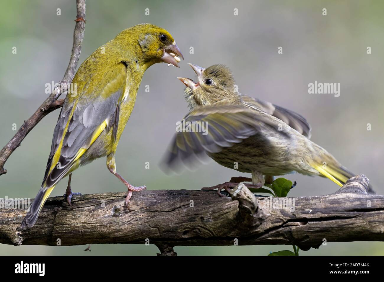Greenfinch with branchling Stock Photo