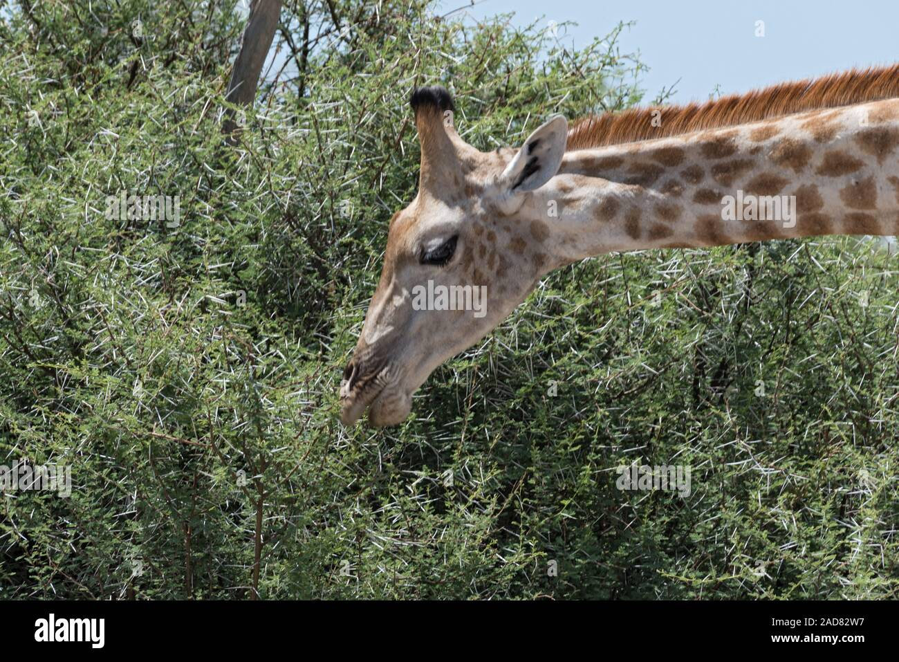 giraffe eating leaves from a large bush, Botswanagiraffe eating leaves from a large bush, Botswana Stock Photo