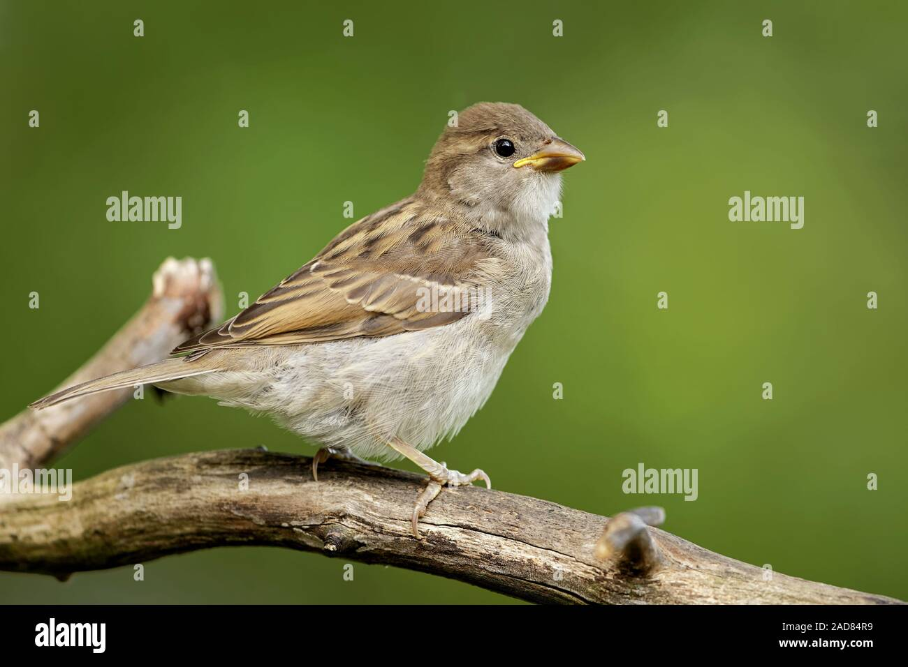 young housesparrow Stock Photo