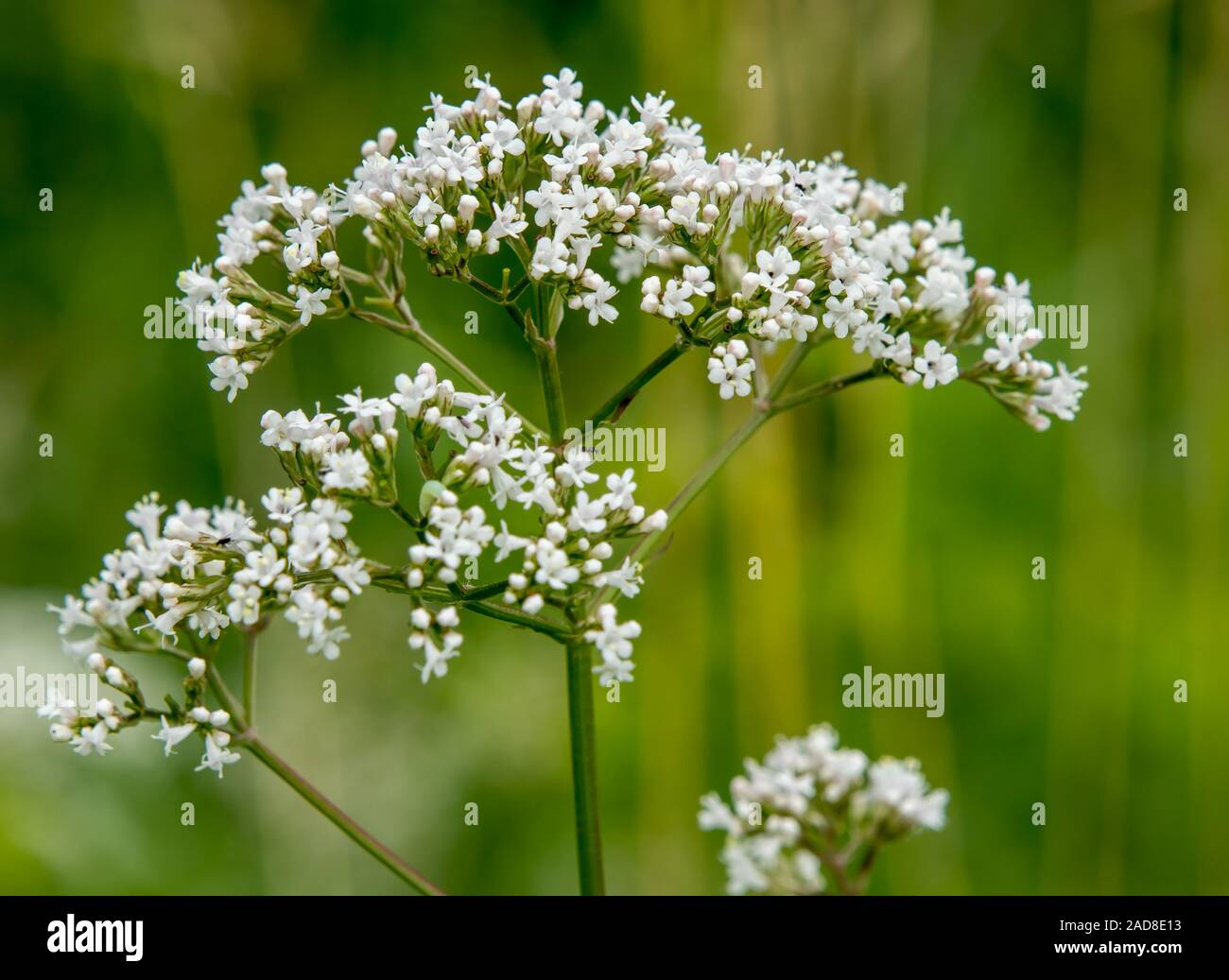 White Bloossom, undefined  plant Stock Photo