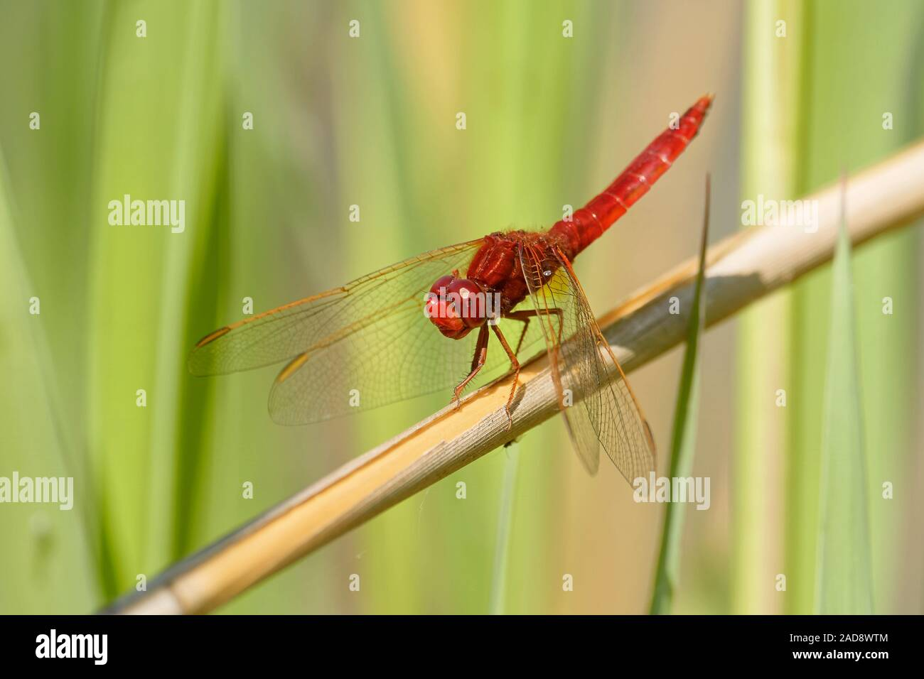 fire dragonfly Stock Photo