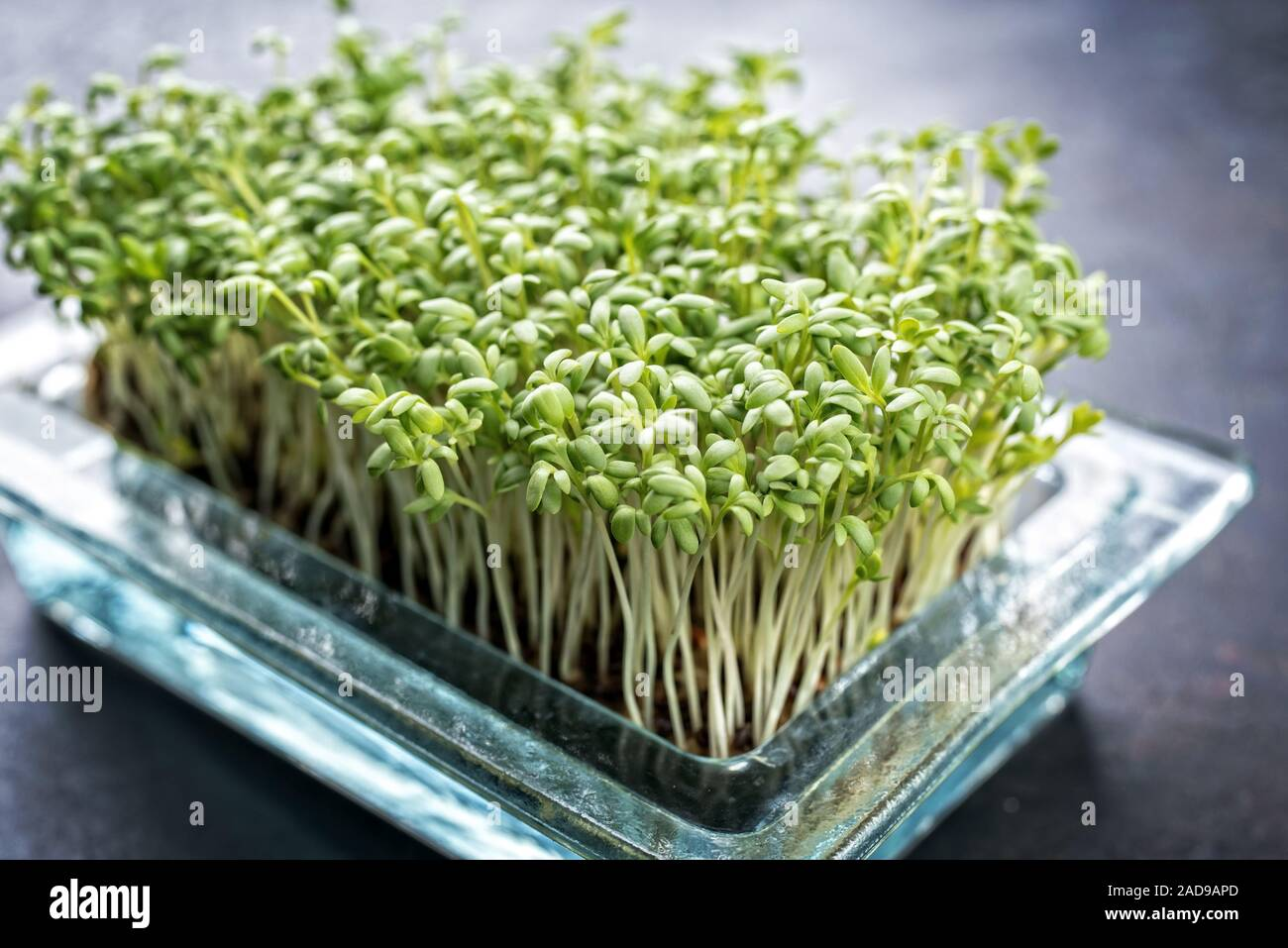 Fresh garden cress germ bud as closeup on a black board with copy space Stock Photo