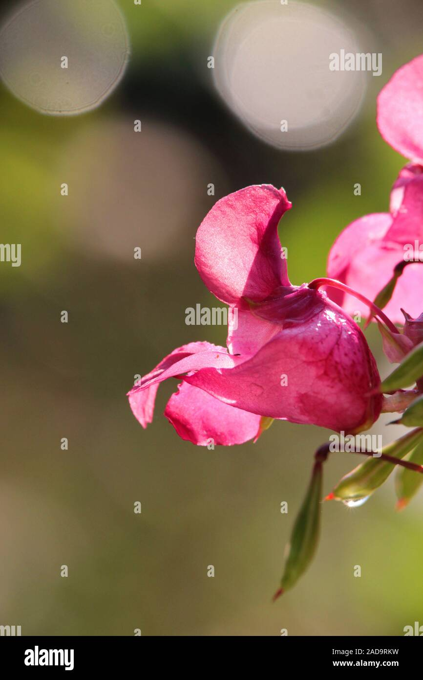 Balsam Stock Photo