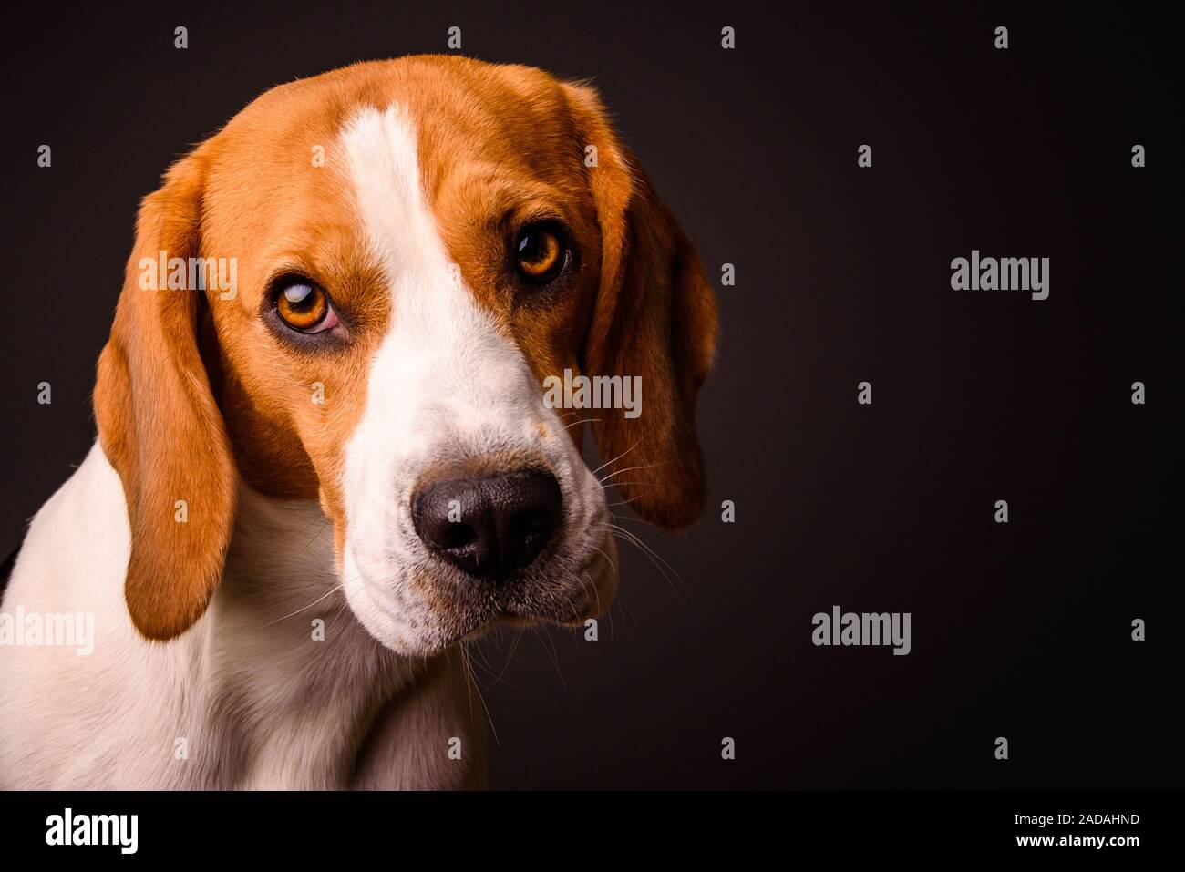 Beagle Dog Portrait On A Black Background Isolated Studio Closeup Detail Like Painting Stock Photo Alamy