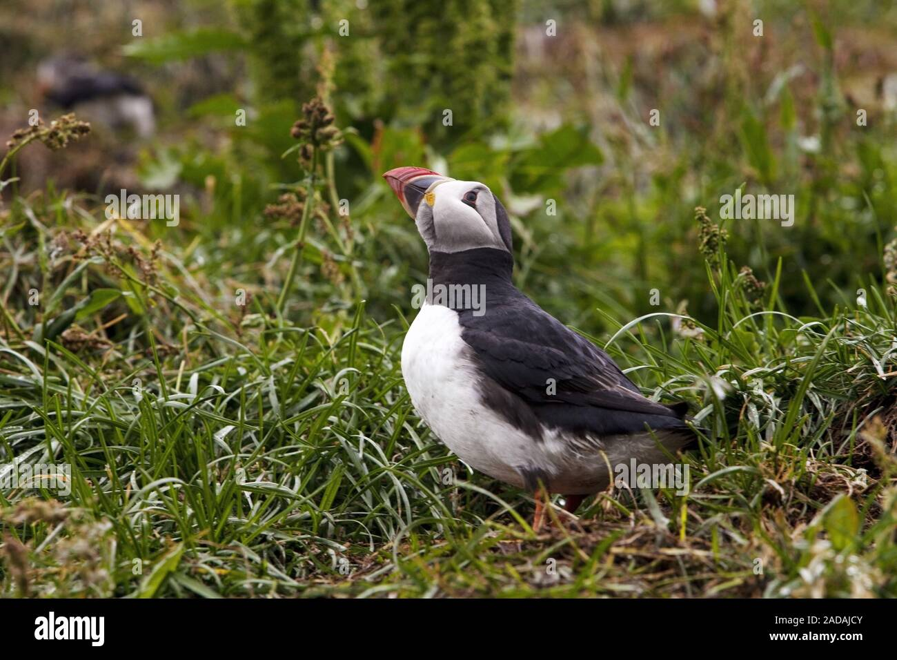 atlantic puffin, Common puffin, (Fratercula arctica), Hafnarholmi, Iceland Stock Photo