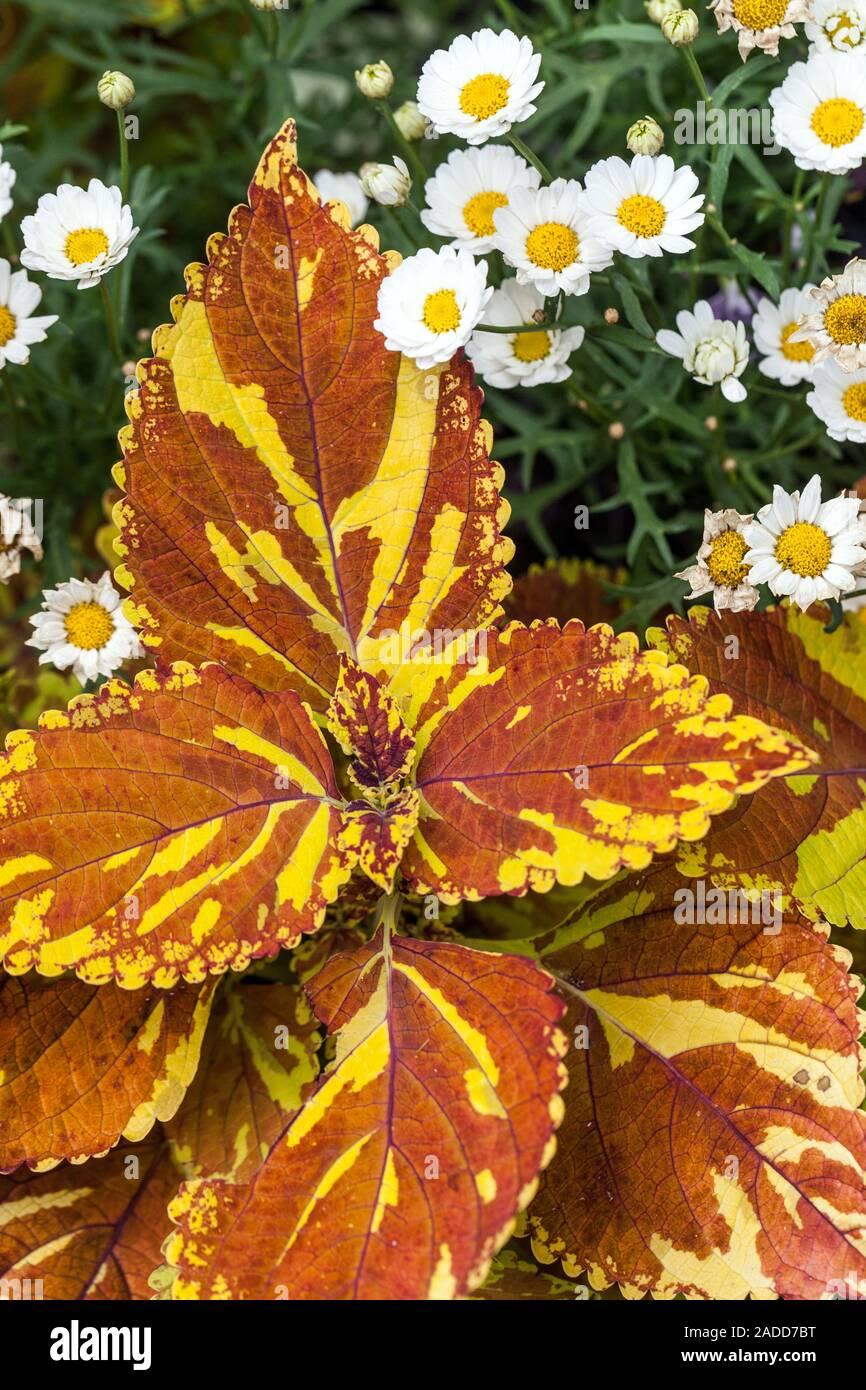 Orange Coleus scutellarioides 'Freckles' plant, decorative leaves Stock Photo