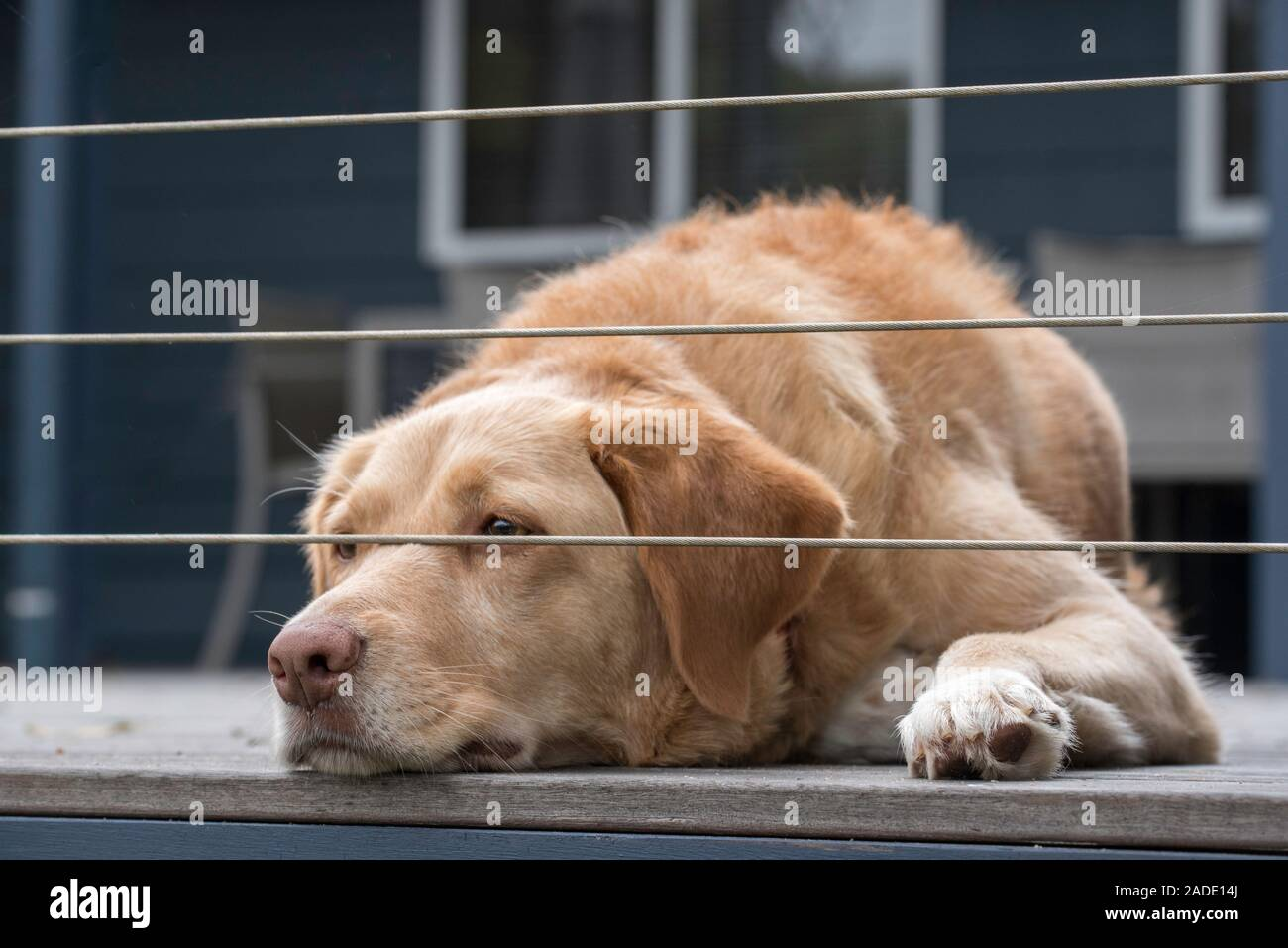 Indy An Australian Cross Breed Labrador Border Collie Dog Rescued By The Rspca Is Seen Here Lying On A Deck Watching Under A Wire Fence Stock Photo Alamy