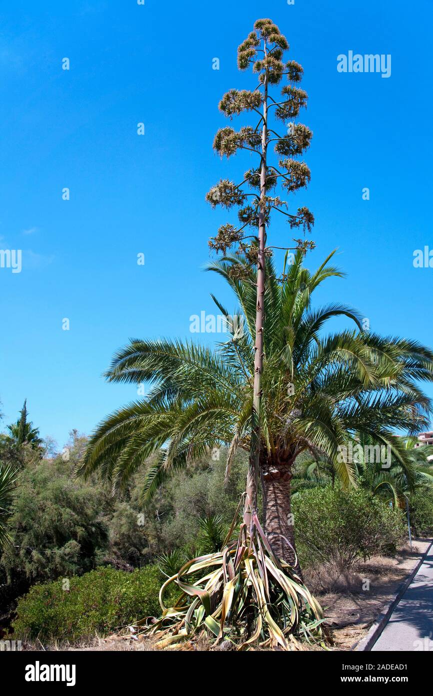 Agave, sentry plant, century plant, maguey aloe or American aloe (Agave americana), Cala Romantica, Porto Christo, Mallorca, Balearic islands, Spain Stock Photo