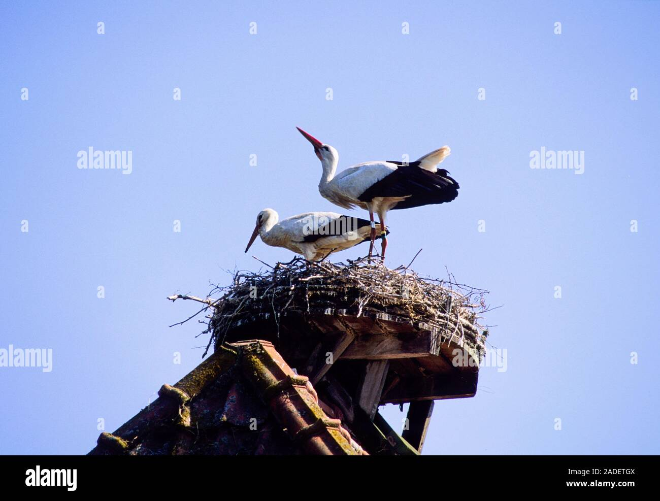 STORK in nest with kids Stock Photo
