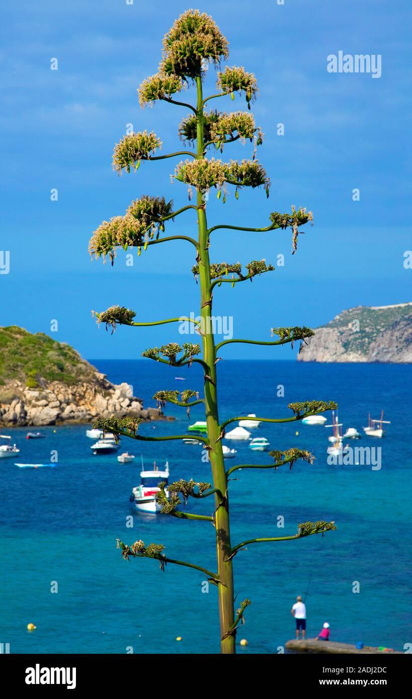 Agave, sentry plant, century plant, maguey aloe or American aloe (Agave americana), San Telmo, Mallorca, Balearic islands, Spain Stock Photo