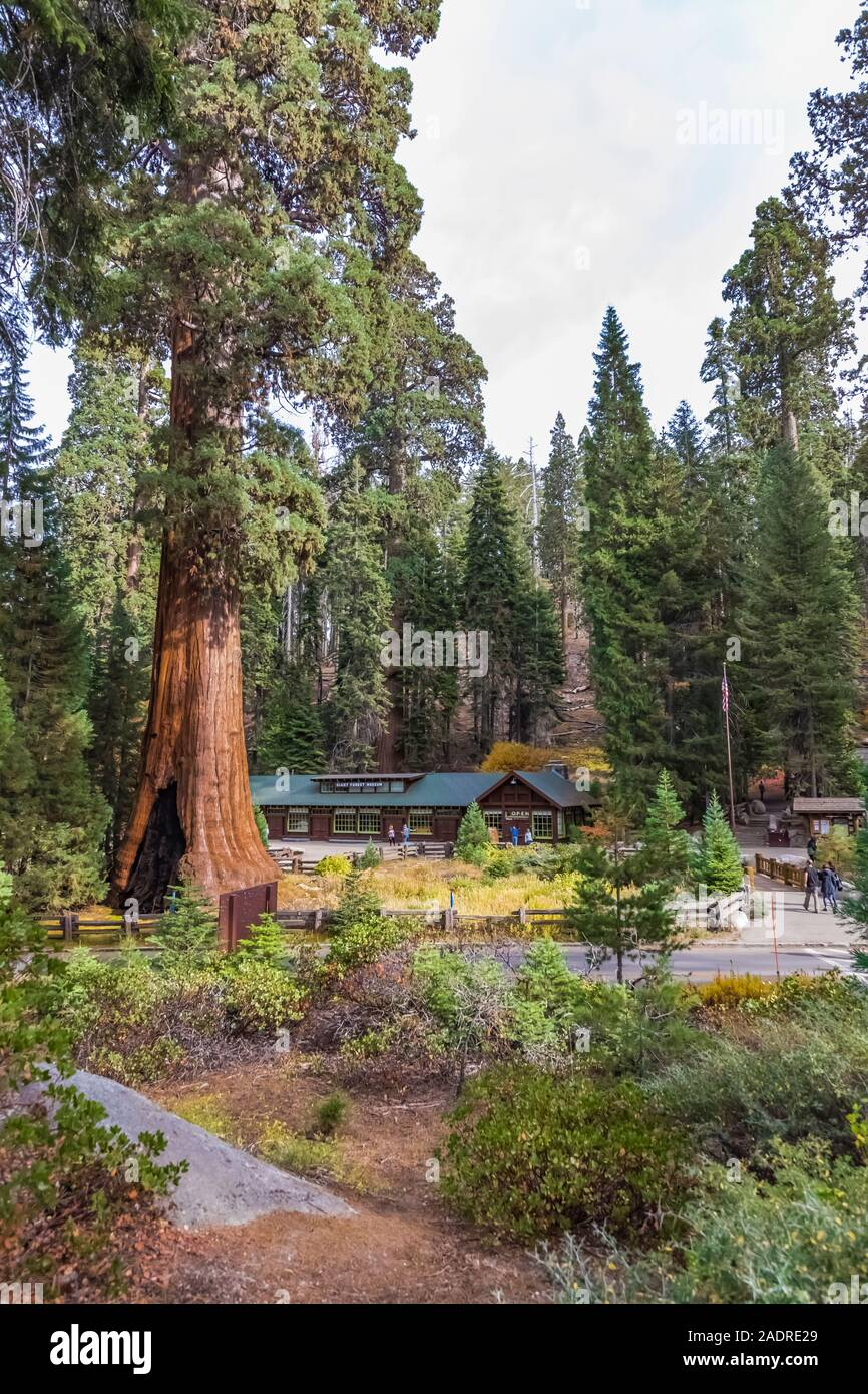 Sentinel Tree and Giant Forest Museum with a huge Giant Sequoia, Sequoiadendron giganteum, in Sequoia National Park, California, USA [No model release Stock Photo