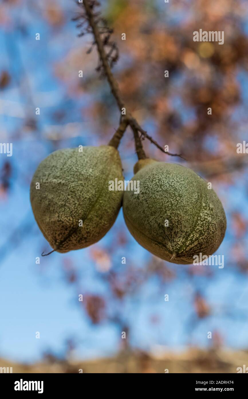 California Buckeye, Aesculus californica,  tree with hanging fruits in Potishwa Campground in the foothills of Sequoia National Park, California, USA Stock Photo
