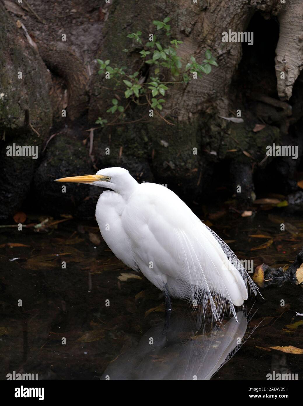 Great White Egret bird close-up profile view in the water with reflection displaying  white plumage with a foliage background. Stock Photo