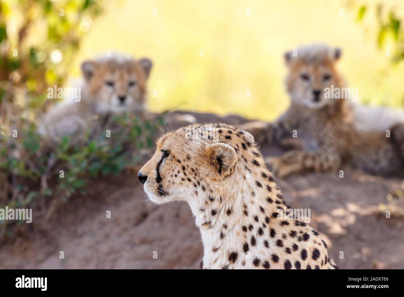 Vigilant Cheetah with her cubs in the shade Stock Photo