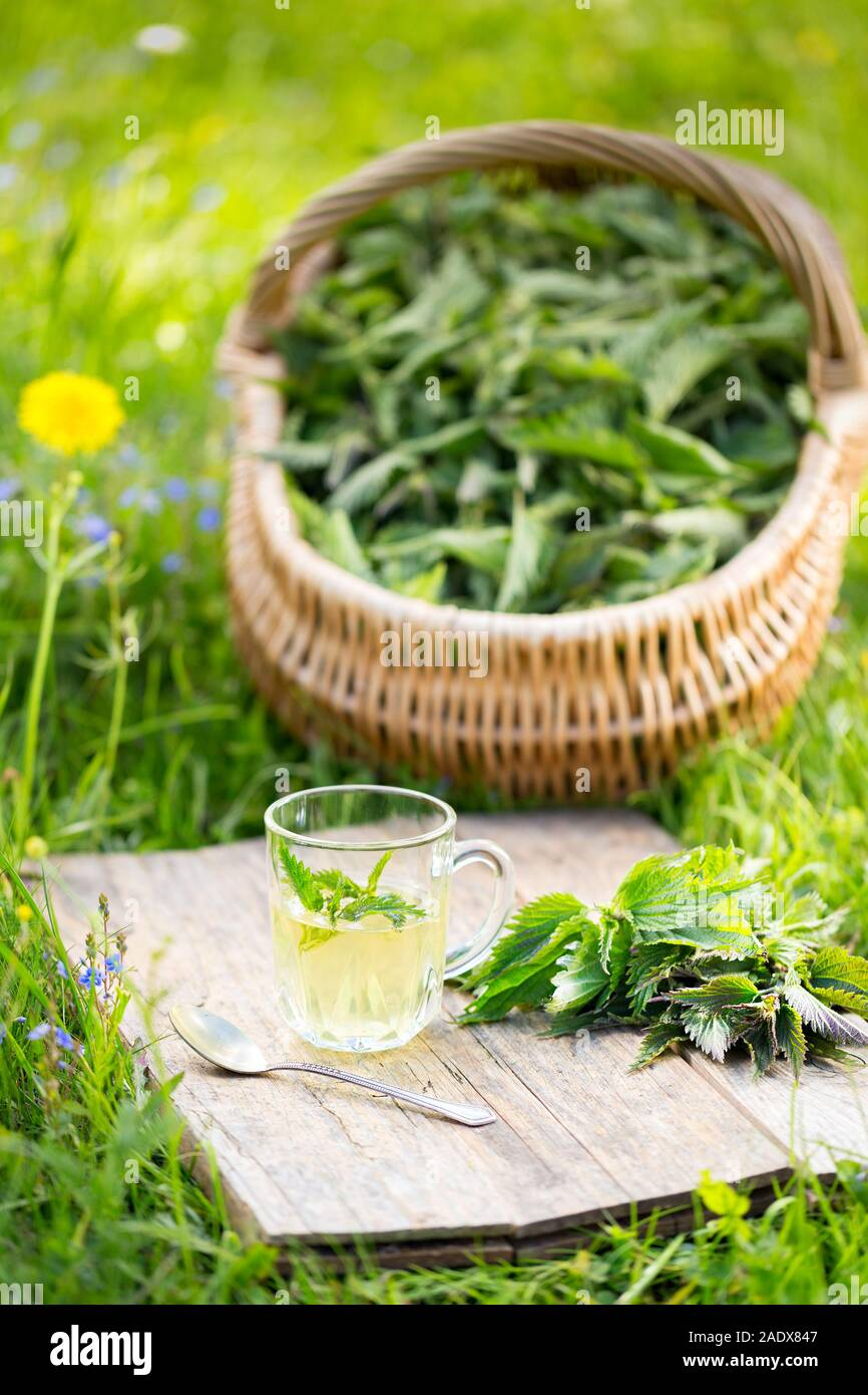 Tea from nettle. Fresh spring nettle. Suitable for salad, tea or use in cosmetics. Stock Photo